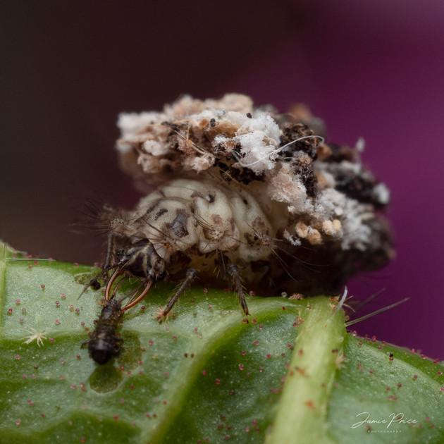 yunk bug