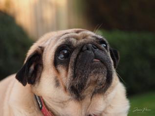 pug photographty