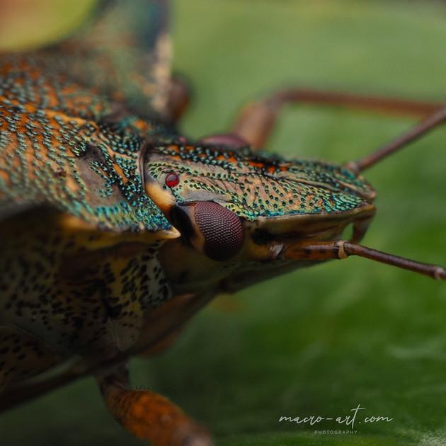 sheild beetle