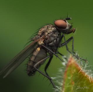 macro fly blowing bubbles