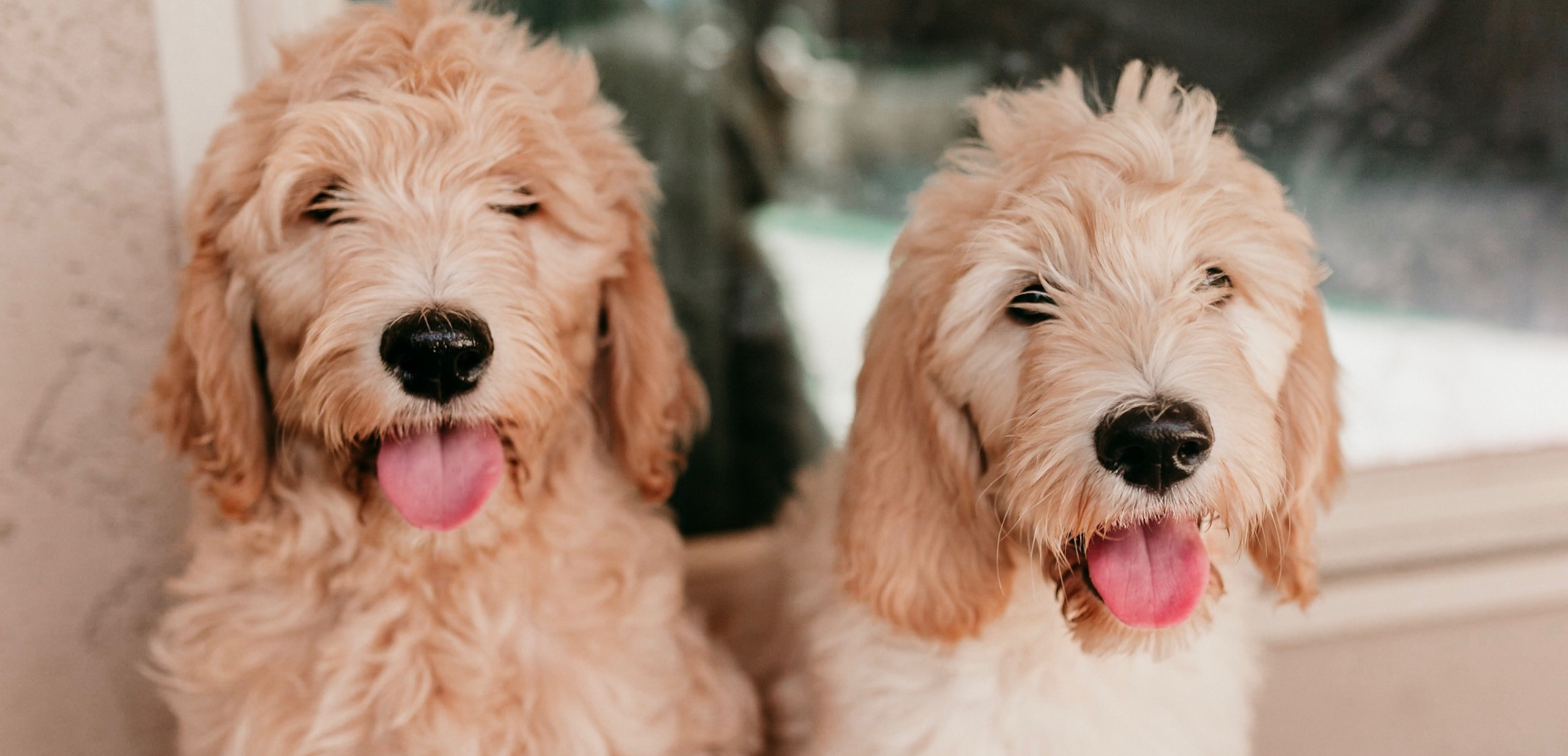 Home Zonadoodles Red Apricot Goldendoodle Puppy Breeder