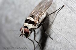 Dalmation_fly