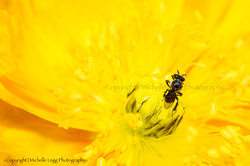 Australian Native Bee
