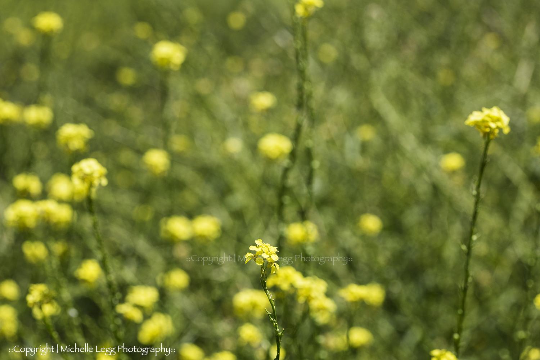 Paddock of Yellow