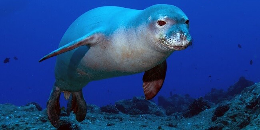 endangered species, Hawaiian monk seal, conservation, sustainability, eco friendly