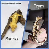 crested gecko parents