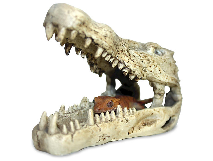 Pangea Crocodile Skull