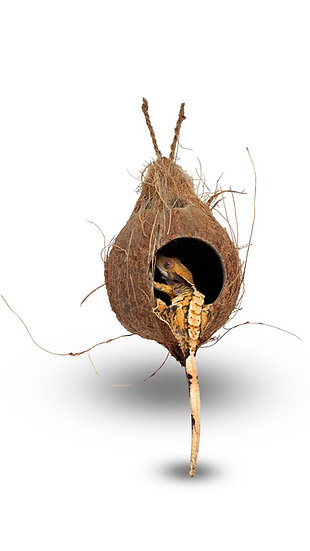 Pangea Hanging Coconut