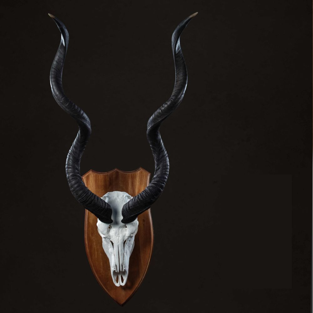 European Mount Kudu Skull