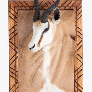 Springbok Wall Portrait