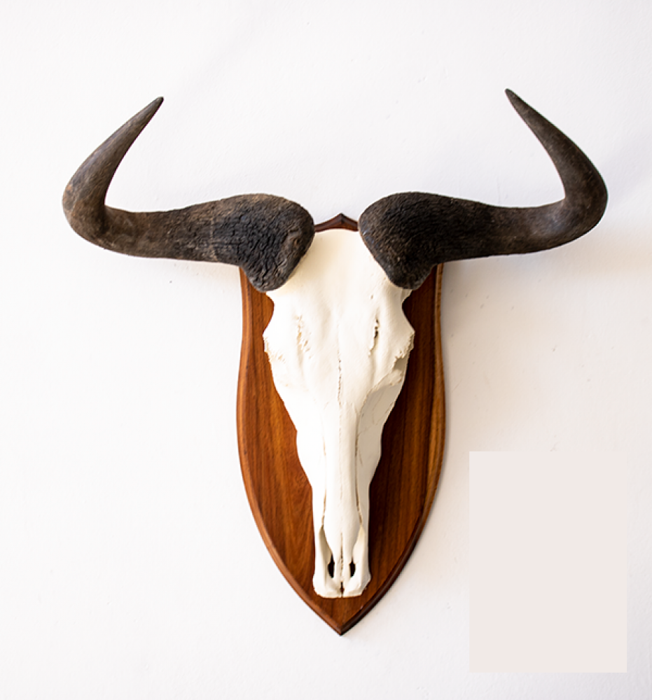 European Mount Blue Wildebeest Skull