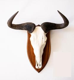European Mount Blue Wildebeest Skull