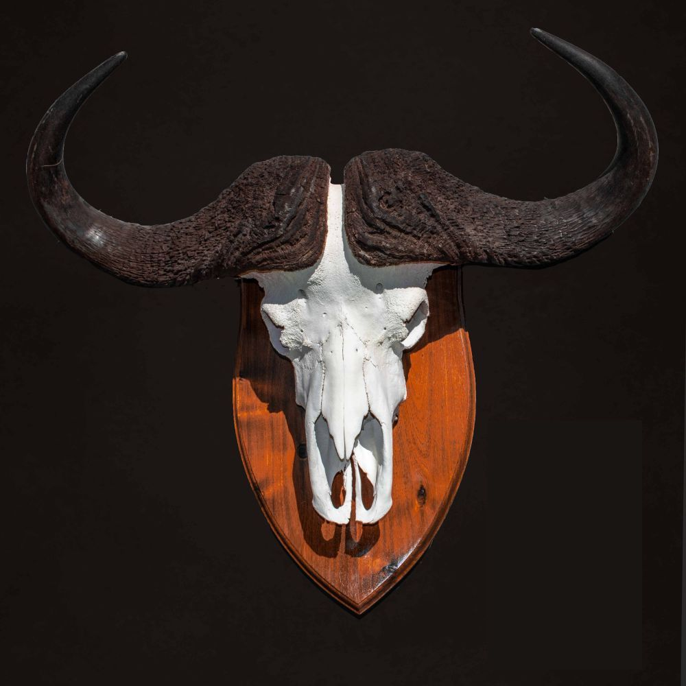 Cape Skull Buffalo Mount