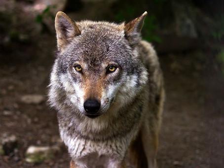 Die Rückkehr der Wölfe - Jäger-Infotag 2020