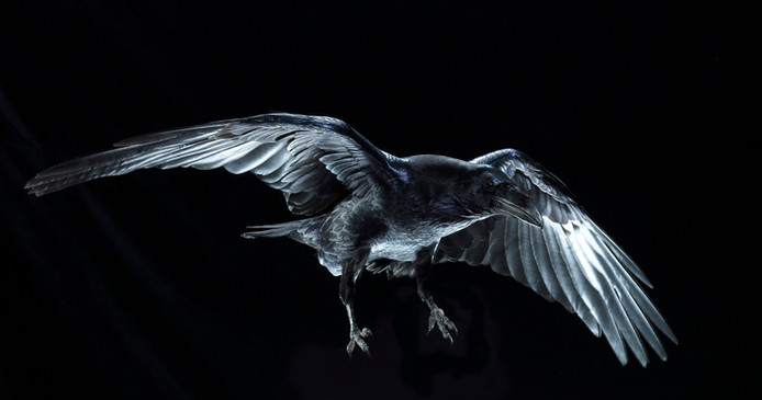 Raven .jpg
