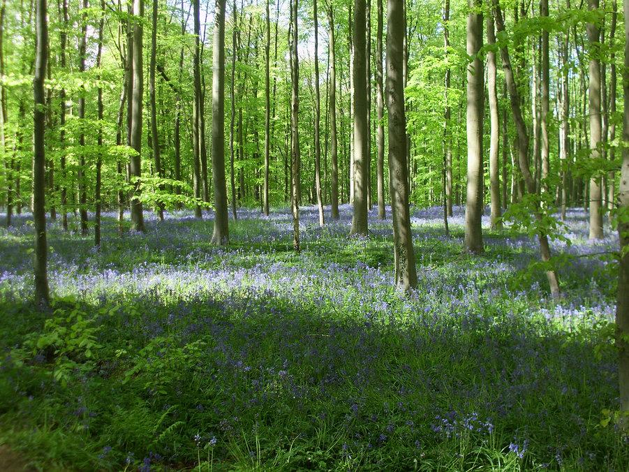jacinthes dans le bois