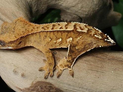 Correlophus (Rhacodactylus) ciliatus Cola Amputada