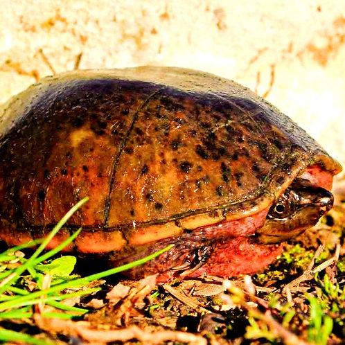 Sternotherus Odoratus (hembra)