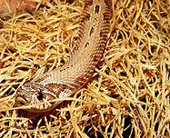 snake-terrarium-heterodon-nasicus-reptil