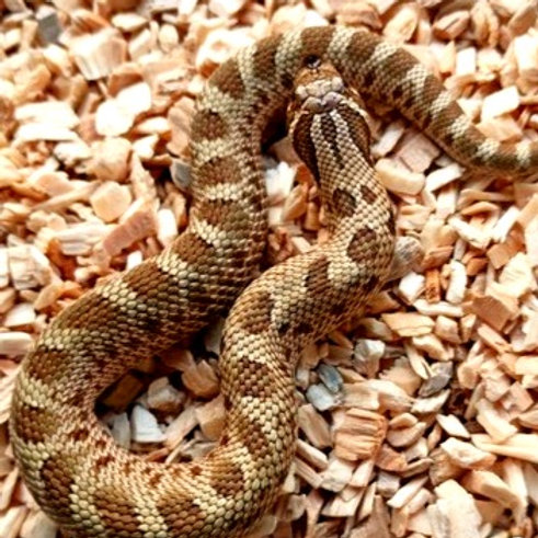 Heterodon nasicus nominal baby