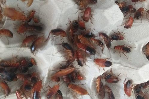 Cucaracha  Sherfodella Tartara (Runner)