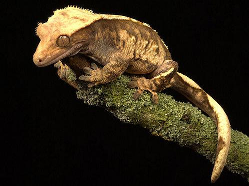 Correlophus (Rhacodactylus) ciliatus Cola Completa
