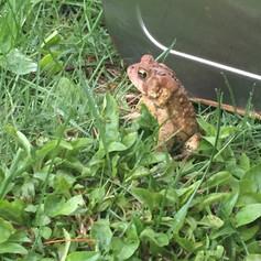 Singing toad