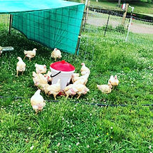 chicken on pasture.JPG