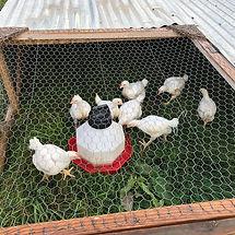 chicken tractor.jpg