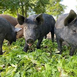 pigs in the woods 2.jpg