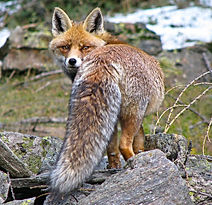 Volpe Alpi Animali Valle Aosta