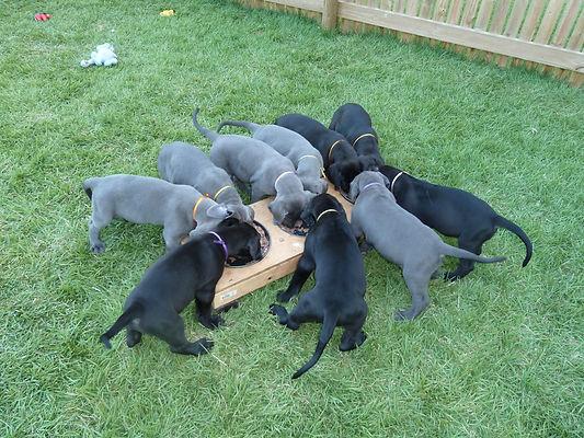 Mafimafi Pups 6 weeks