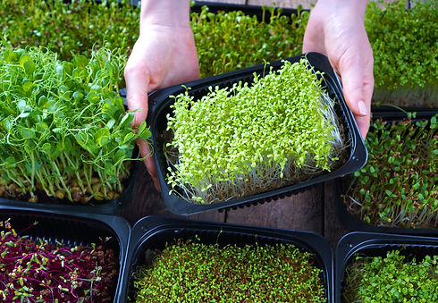 Microgreens growing background with micr
