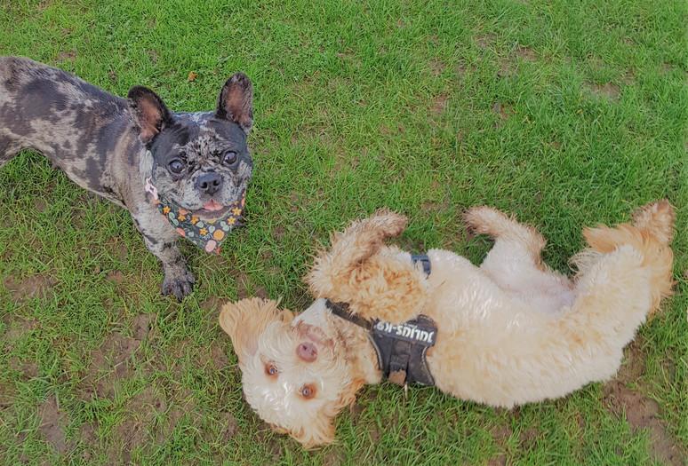 Dorset Dog Walking Roxy and Miley Playin