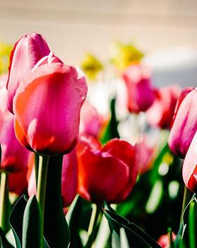 Lanthier Winery - pink tulips.jpg