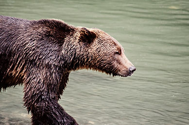 Grizzly Bear in Toba Inlet