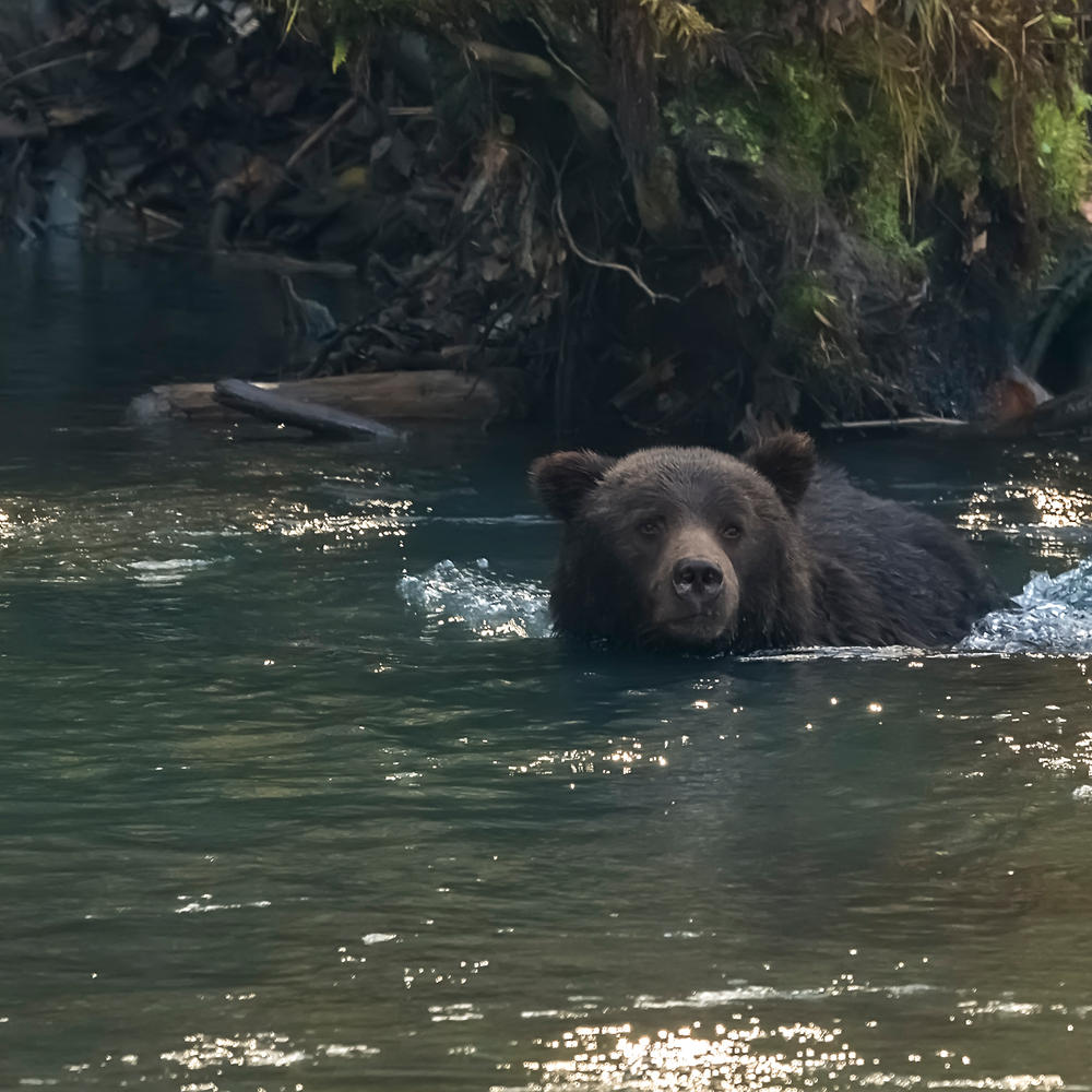 Grizzly Bear in the Klite River