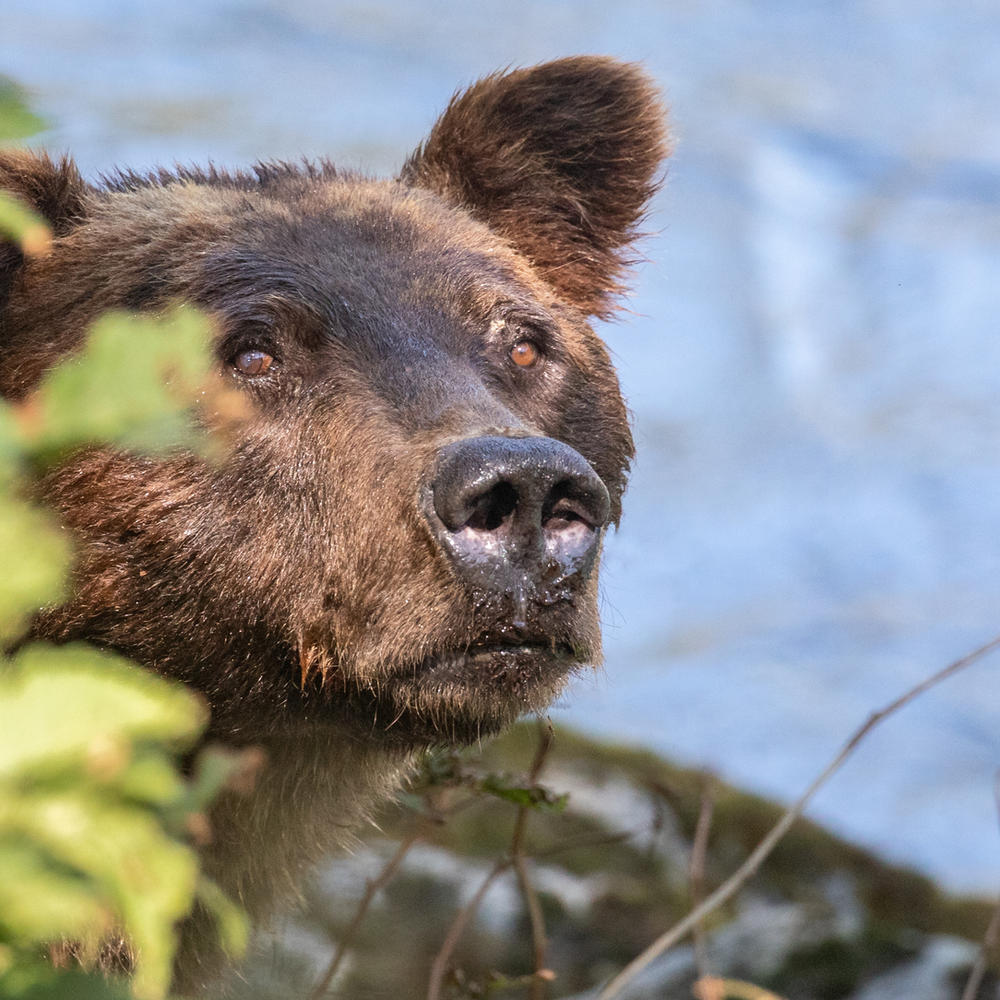 Grizzly Bear Tour closeup