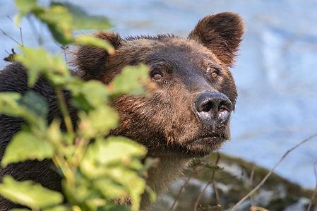 Grizzly Bear Tour closeup.jpg
