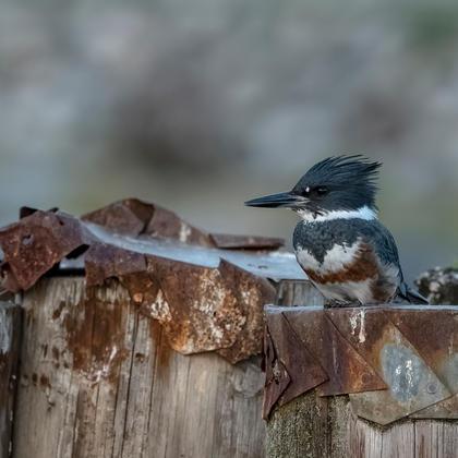 King Fisher - Bird Watching