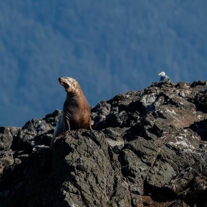 Sea Lions - Marin Wildlife Tours