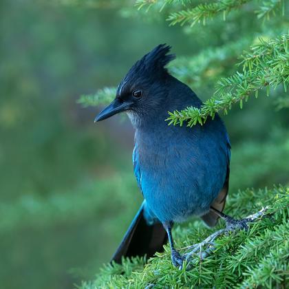 Steller Jay - Bird Watching