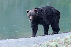 Grizzly Bear 01 Credit Dick Van Duijn.jp