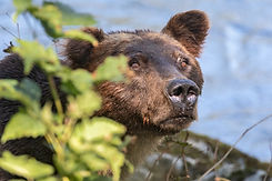 Grizzly Bear closeup 01.jpg
