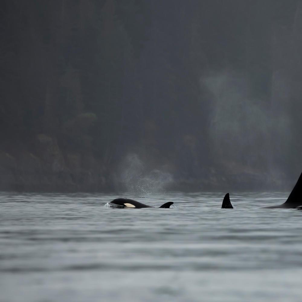 Orcas in Desolation Sound - Credit Laris