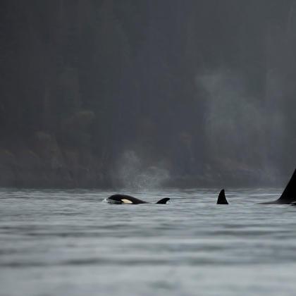 Orcas in Desolation Sound