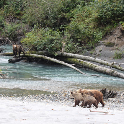 Grizzly mom with cubs