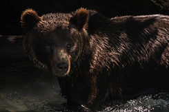 Grizzly in the shadows 01 (1).jpg