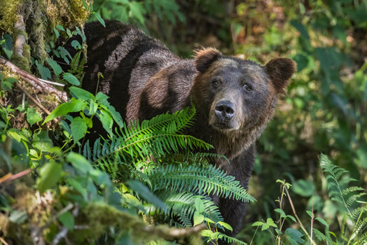 Grizzly Bear in the forest Toba Inlet, B