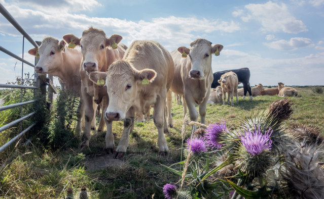 Jersey Cattle and Thistle